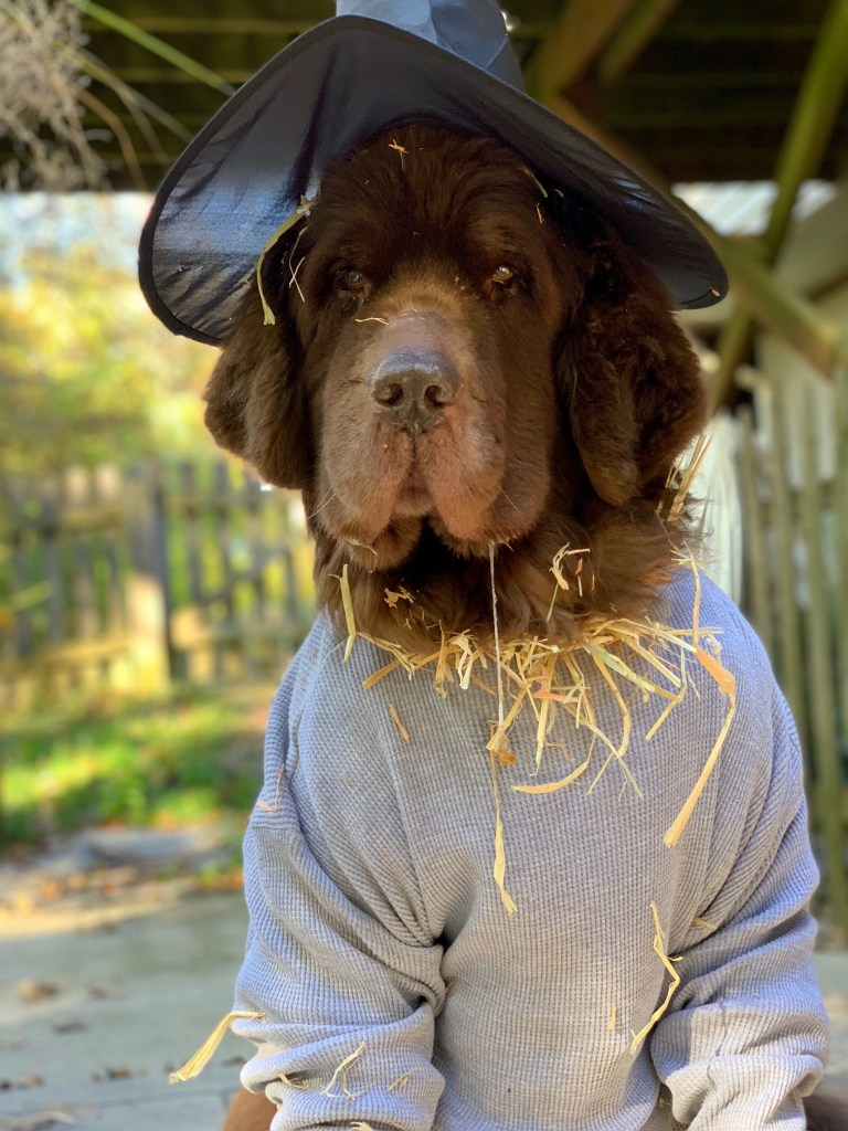 brown newfoundland dog dressed as a scarecrow for Halloween