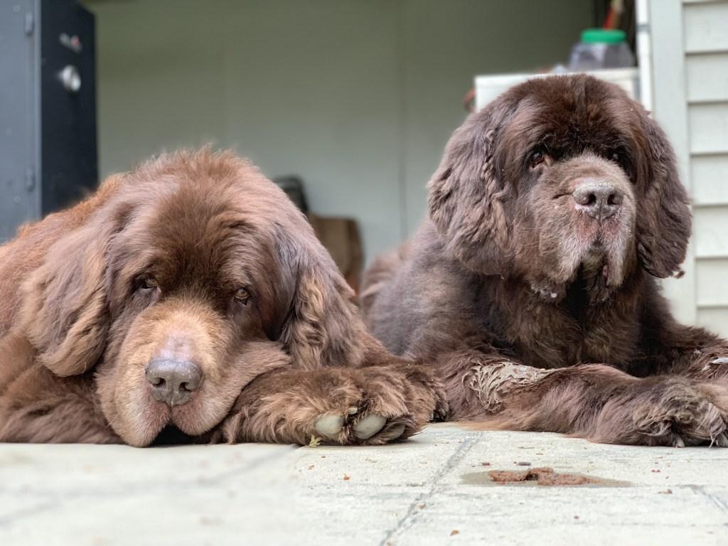 2 brown newfies