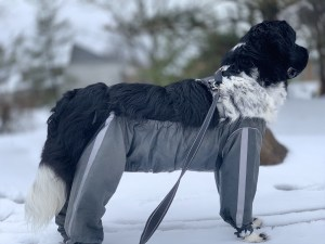 newfoundland dog in snow wearing dog pants