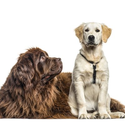 Tips On Introducing A New Puppy To Your Newfoundland Dog