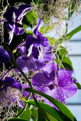 PurpleOrchids