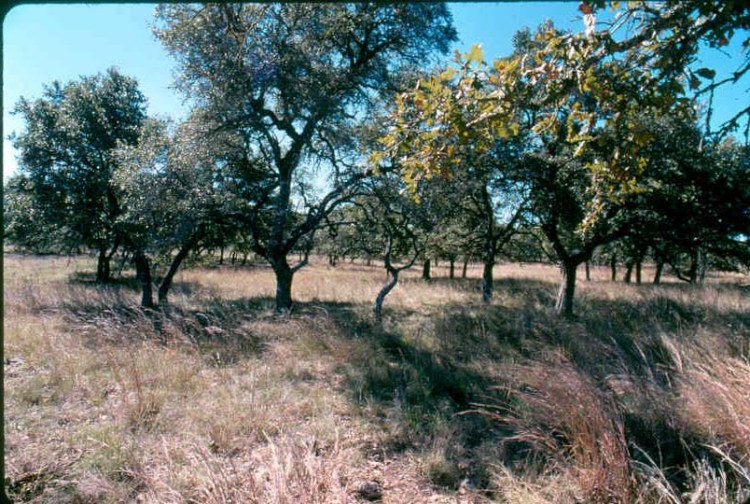 Edwards Plateau savanna.