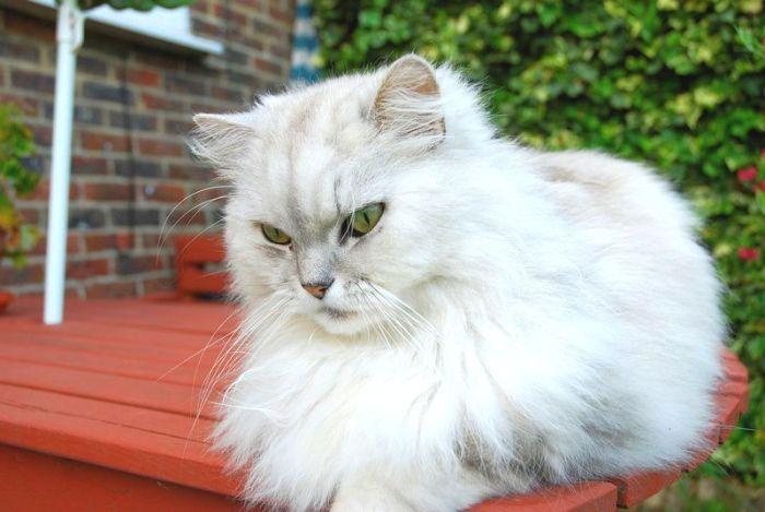 Персидская кошка шиншилла
