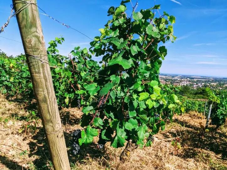 Vignes de la côte de Beaune à quelques jours des vendanges, avec en arrière plan la ville de Beaune