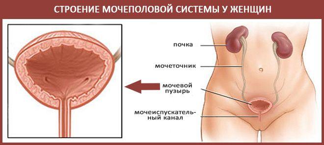Мочеполовая
