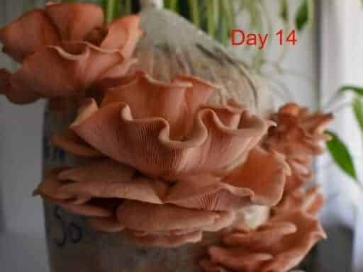 3kg Pink Oyster tiny-farm