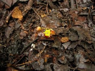 Afrothismia winkleri (Thismiaceae) – Mount Kupe, Cameroon. Photo by Vincent Merckx