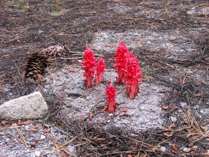 Sarcodes sanguinea (Ericaceae) – Lassen National Park, CA, USA. Photo by Vincent Merckx