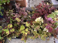 Assorted Coleus with haircuts