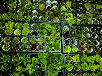 Trays of cuttings