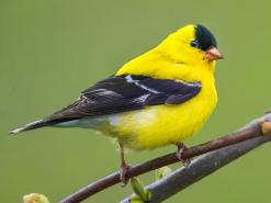 Jolology 101: be observant of the sweet things - gold finch