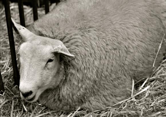 sheep-salon-de-lAgriculture
