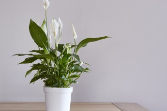 To guarantee your Peace Lily plant will stay alive you need to do the following four key things. After all, it would be a shame for it to die.