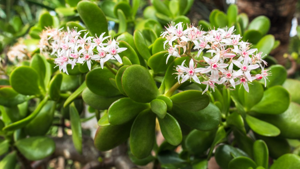 Jade plants are a decretive succulent. They thrive for years and provide you with good fortune, money, and luck. Here are 3 secrets for keeping them healthy
