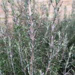 Damaged Rosemary plant