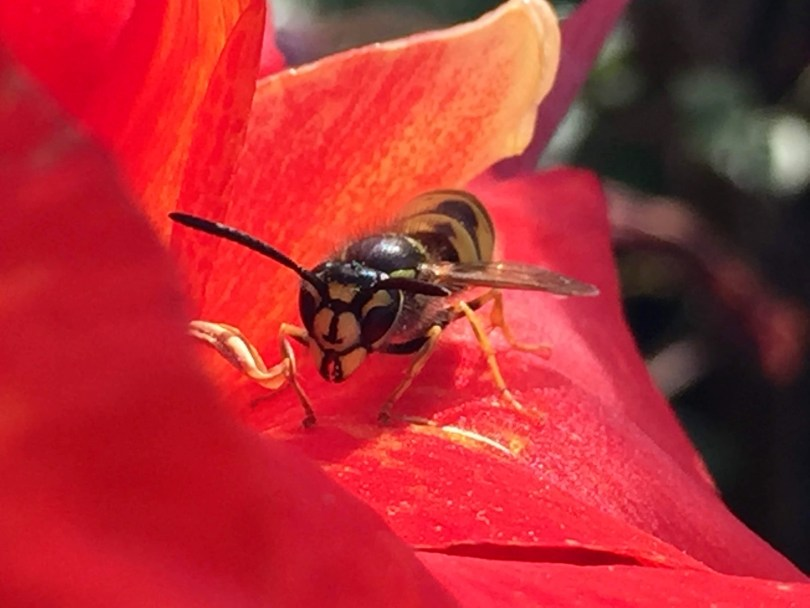 wasp for cover