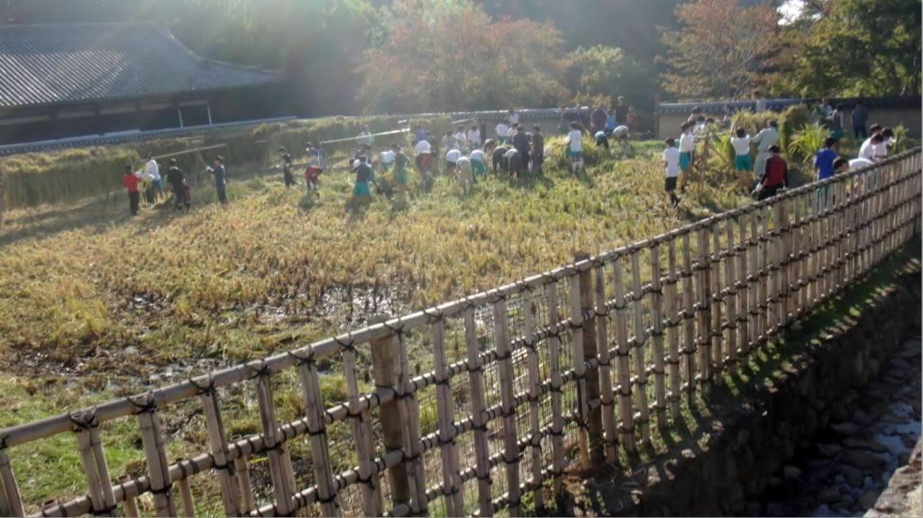 Des collégiens qui ramassent du riz de manière traditionnelle à Nara.