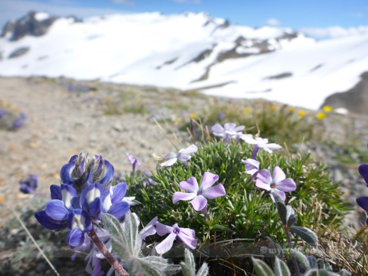 Alpine fleurs