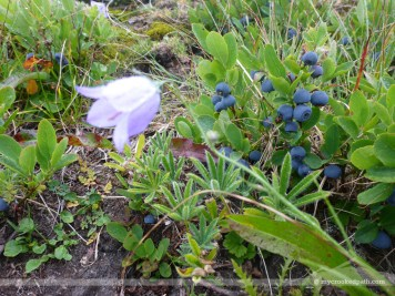 Bluebell and blueberries