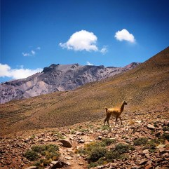 A guanaco in the Vacas Valley