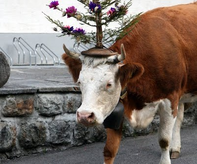 Flowers on head of a cow