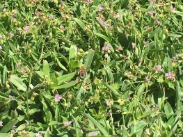 So happy to see these lovelies buzzing around our ground cover