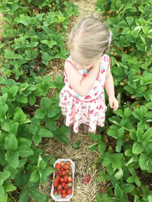 Strawberry picking 08