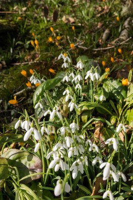 Snowdrops and yellow crocuses