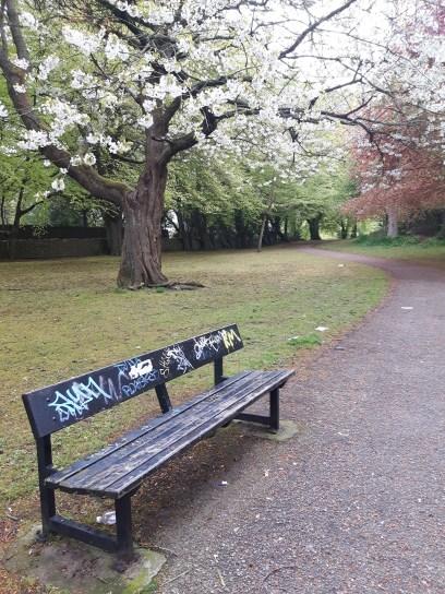 A bench and cherry blossum