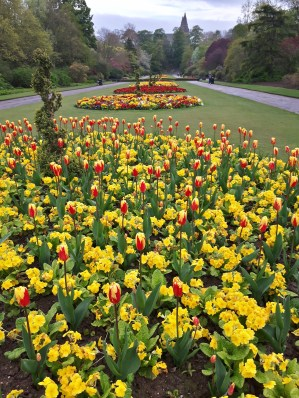 Tulips and Polyanthus