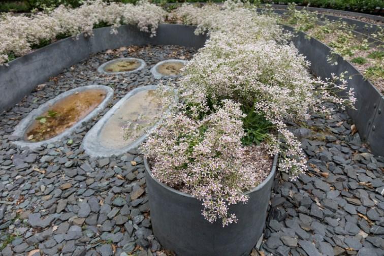 Flowering Saxifraga