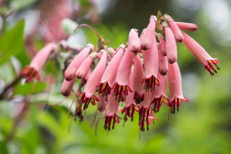 Light pink Phygelius