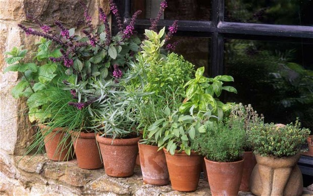 Herbs of spring for balcony7