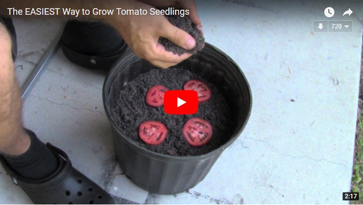 cultivate your own tomatoes in a planter