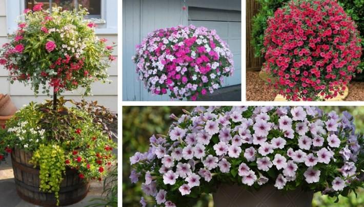 How To Grow A Lush Petunia In The Form Of A Ball Reveal The