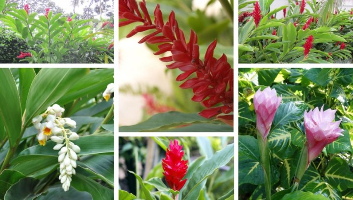 Alpinia, a tropical plant with shells-like flowers for your garden