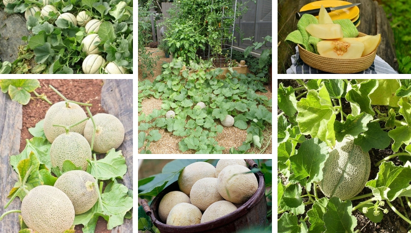 9 Tips For Planting And Growing Cantaloupe In Your Garden My Desired Home New users enjoy 60% off. growing cantaloupe in your garden