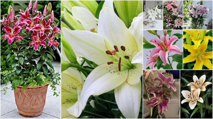 Lilium an impressive flower for your yard or garden