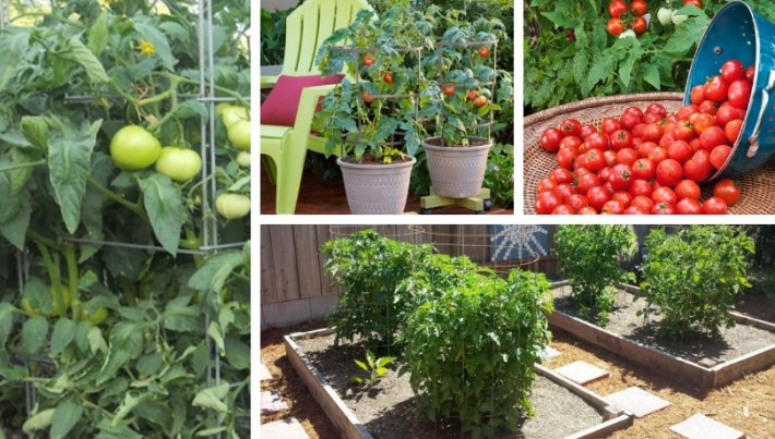 Caged tomatoes: Double the harvest of your tomatoes without trimming them
