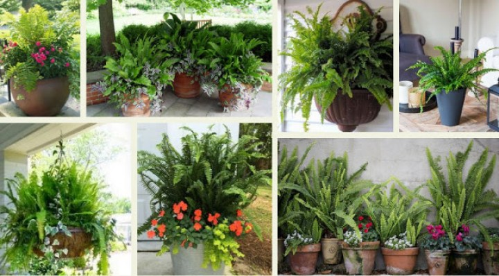 Fern, a timeless plant with beautiful leaves your pot and garden