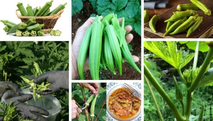 9 secrets to growing okra in your garden
