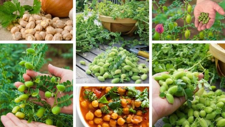 How to grow chickpeas in your garden