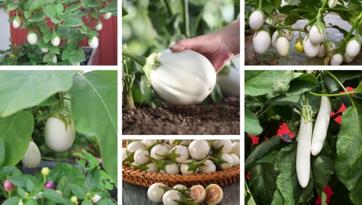 Gardening secrets: How to grow white eggplant in your garden
