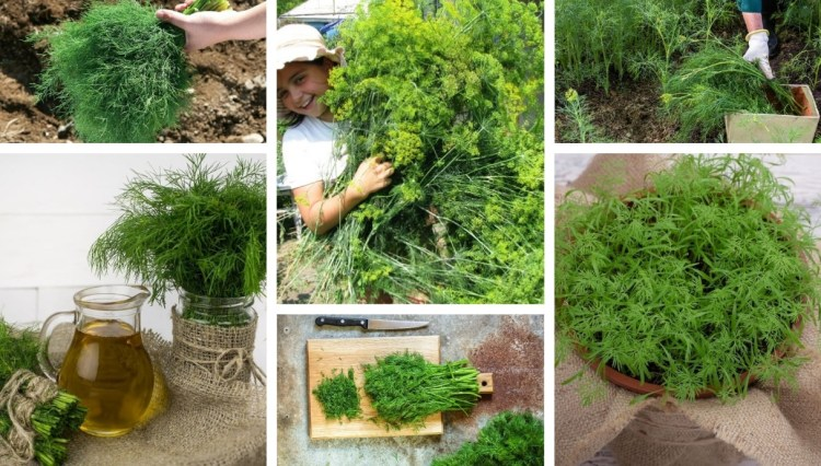 Little tricks to grow lush dill bushes in pots and your garden