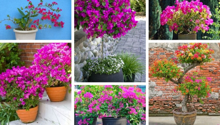 Bougainvillea in a pot: everything you need to know for grow this magical plant