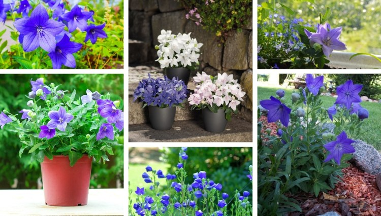 Platycodon a beautiful plant with purple flowers is a delight for the yard and garden in summer and winter