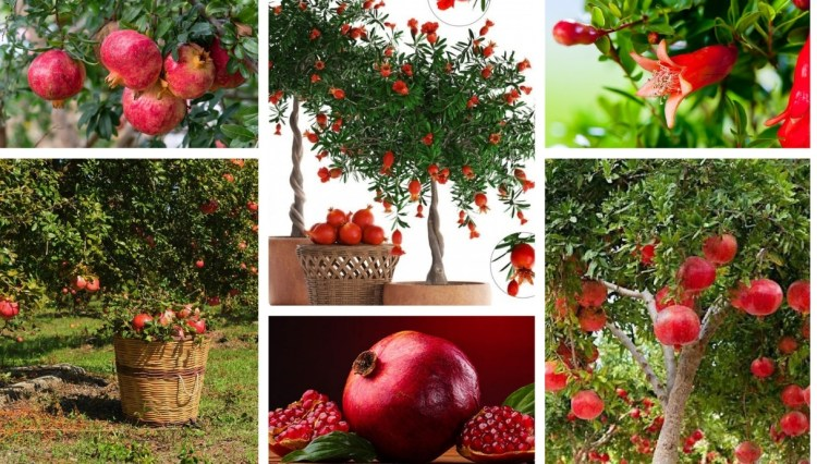 9 secrets for growing pomegranate in your garden
