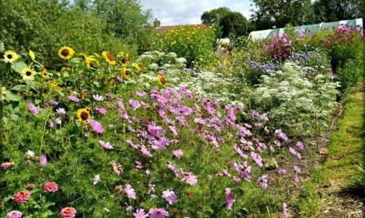 cottage-garden-flowers-for-sale-norfolk