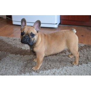 Relaxing Cheshire Gumtree Fawn French Bulldog Australia Fawn French