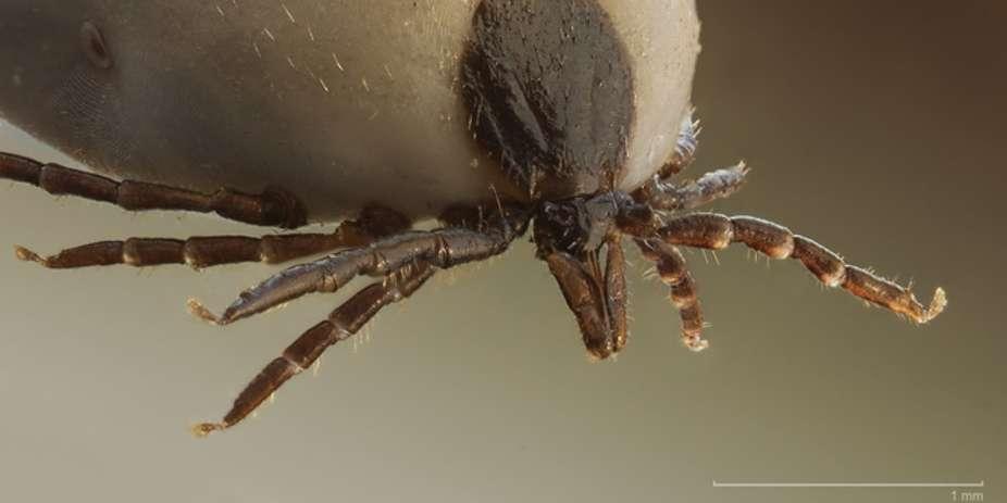 la-tique-ixodus-ricinus-qui-propage-la-maladie-de-lyme-en-europe